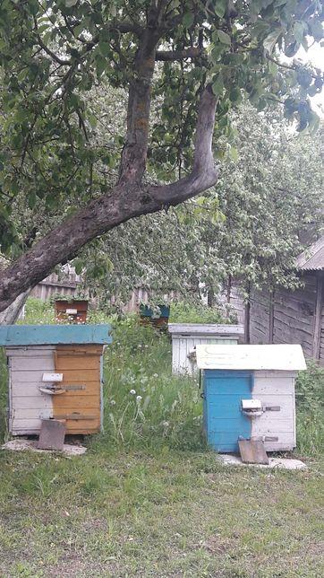 Продам бджіл (пчёл) з вуликами