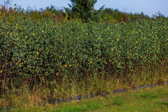 Brzoza brodawkowata (Betula Pendula) wysokość 100- 140 cm, z gruntu