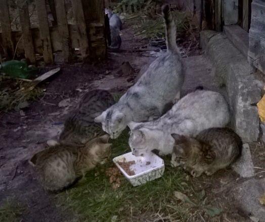 Rezerwacja-Kotek srebrzysty ok 8 miesieczny