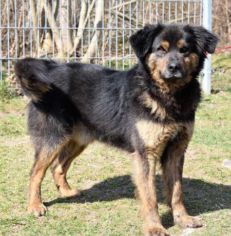 Pulpet - 3 letni energiczny , radosny pies