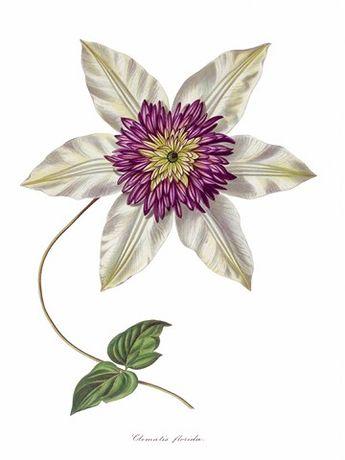 Kwiaty reprodukcje XIX w. grafik do aranżacji wnętrza