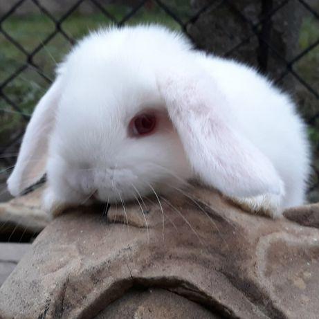 Królik karzełek baranek mini lop biały albinos