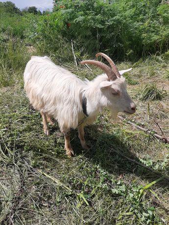 Продам козу 1.5 года