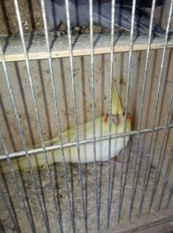 Papugi Nimfy mlode