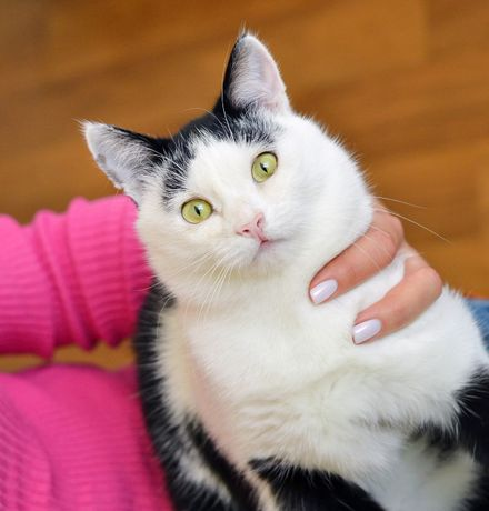 Чорно-біле щастячко, кіт активіст і веселун Капітан, 10 міс.
