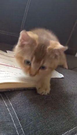 Золота шиншила котик