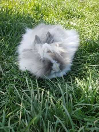 Królik Teddy karzełek, króliki miniaturki królik miniaturka karzełki