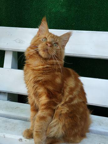 Кот Красный солид .