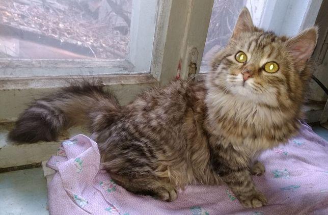 Отдам пушистого котенка лесного окраса ,девочка ,5 месяцев