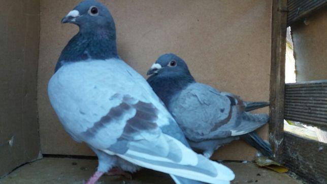 Sprzedam gołębie pocztowe o ciekawej barwie