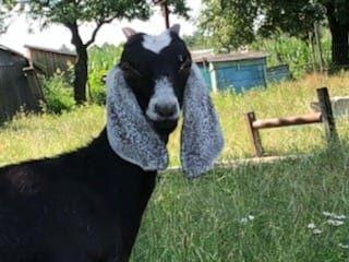 Koza anglonubijska