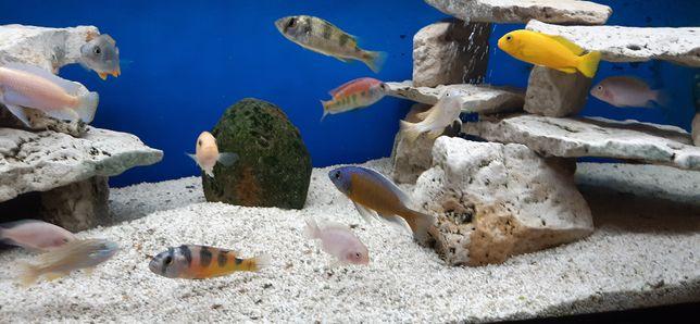 Rybki akwariowe - Pyszczaki dorosłe