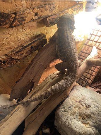 Jaszczurka Agama Brodata 2l., zdrowa, spokojna z terrarium
