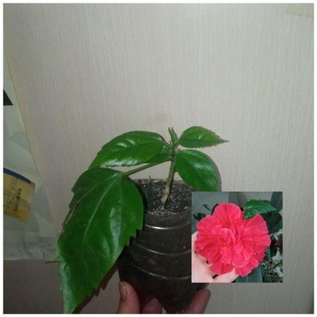 Укорененые черенки суккуленты и цветущие растения