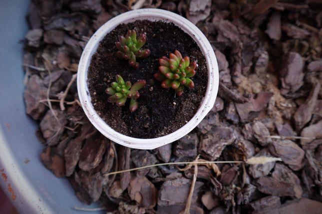 Suculenta Dedo-de-Moça/Arroz de rato (Sedum rubrotinctum) - Mudas