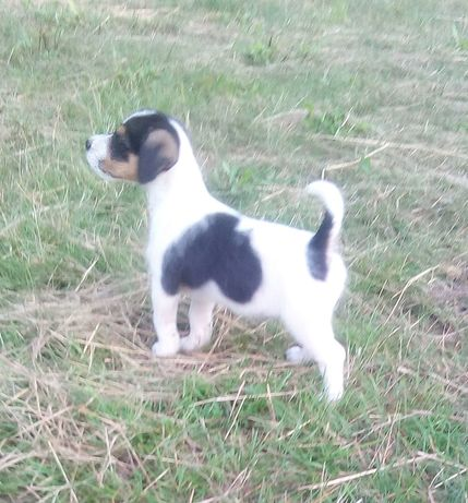 Pies parson Russell terrier