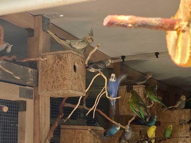 Papugi faliste, zielone i nimfy