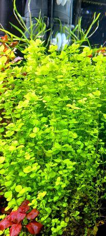 Micranthemum umbrosum roślina akwariowa