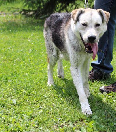 Kozak bardzo energiczny pies