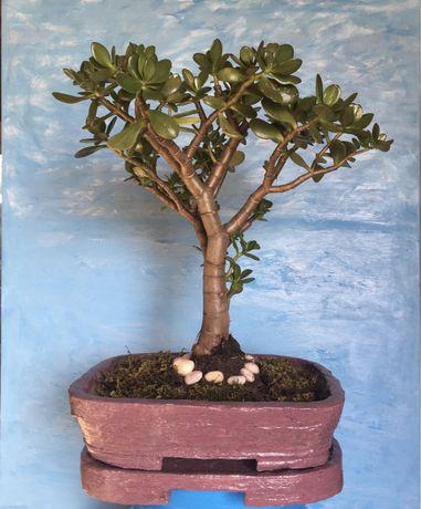 Bonsai JADE - Crássula Ovata - árvore da sorte e do dinheiro/ fortuna