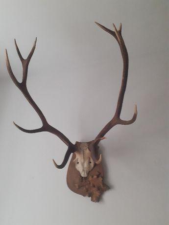 prawdziwe duże poroże jelenia