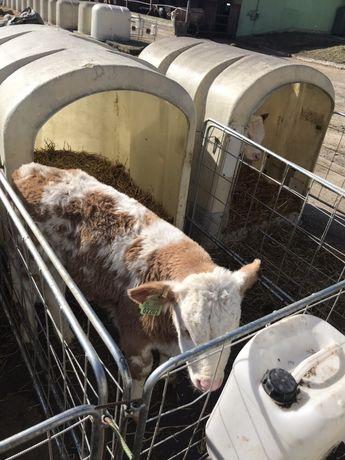 Byczki Cielęta Mięsne Cielaki Krzyżówki 60-110 kg