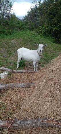 Продаю молоденьку козу