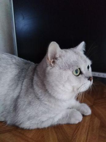 Серебристо шиншиловый кот приглашает невест.