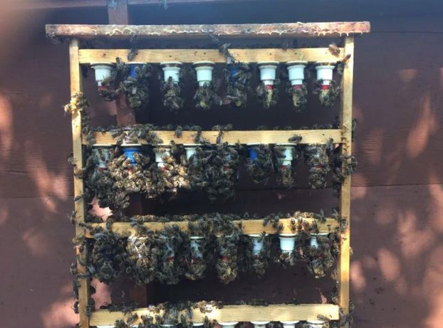 Карпатка Пчеломатки Отправка с пасеки Настоящая 100%