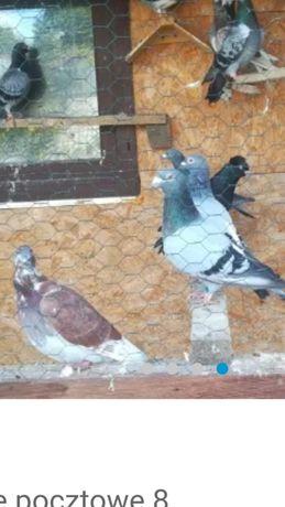 Gołębie pocztowe!