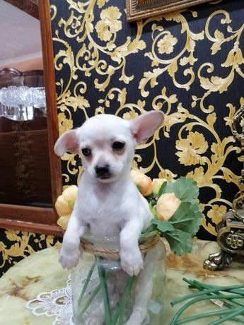 Chihuahua malusi krótkowłosy piesek