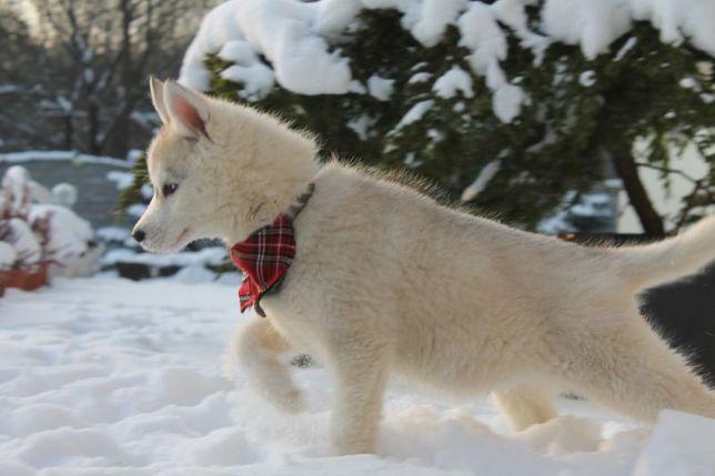 Siberian husky-suczka