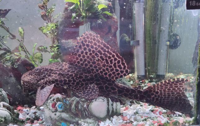 Peixe Saudável plescostomus