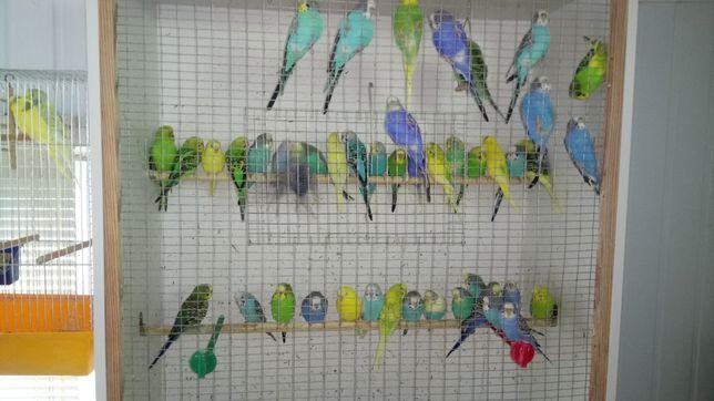 Продам молодёжь волнистых попугаев
