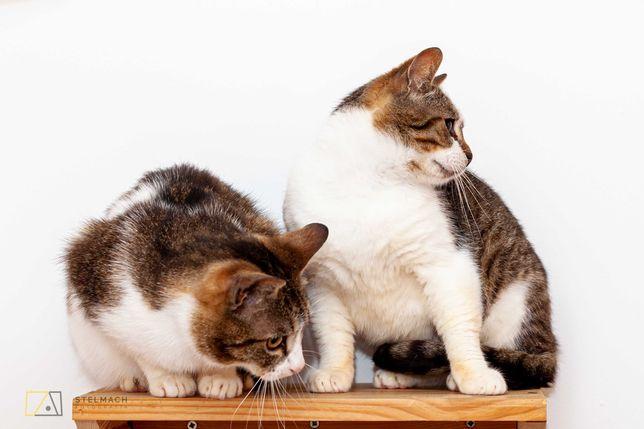 Bolek i Lolek roczne kotki, zaszczepione, wykastrowane, zaczipowane