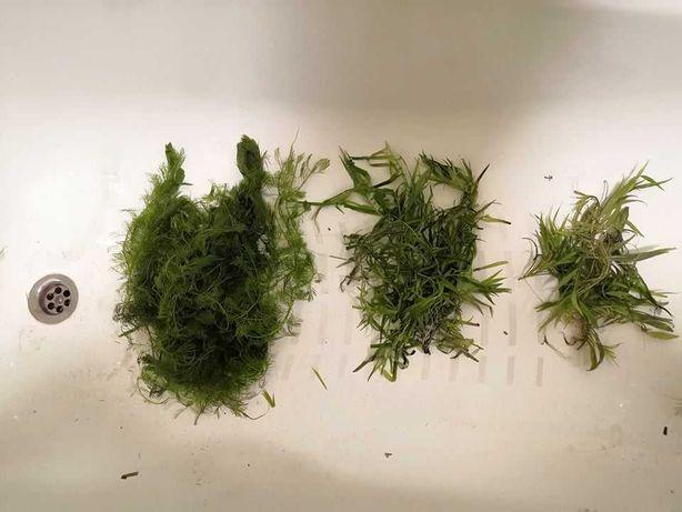 Zestaw rośliny akwariowe