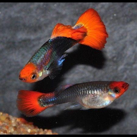 Gupik Tricolor 3,5 cm