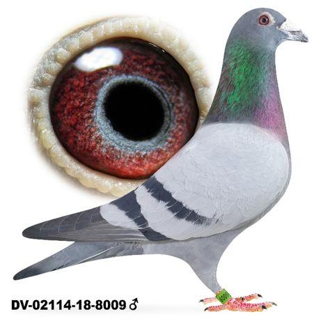 Młode 2021 para 21 Dirk Van de Bulck Kittel x Olimp 003 gołąb gołębie