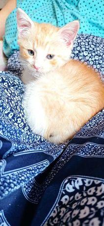 Золотой котёнок, 1.5 мес.