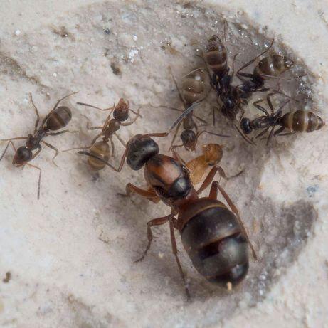 Formica rufibarbis (mrówki, formikaria, formikarium, terraria)