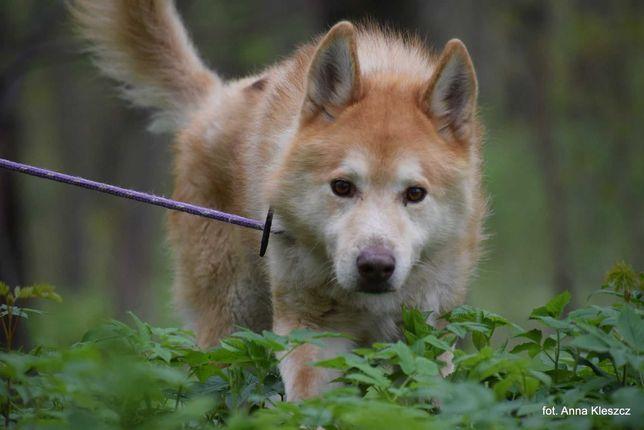 Bronek w typie siberian husky szuka domu adopcja