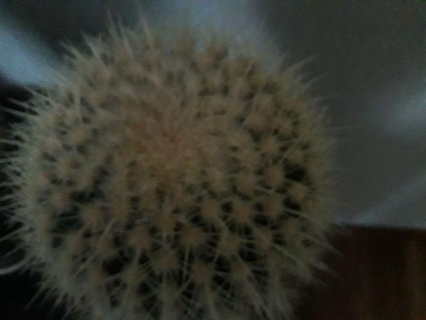 Kaktus grusoni