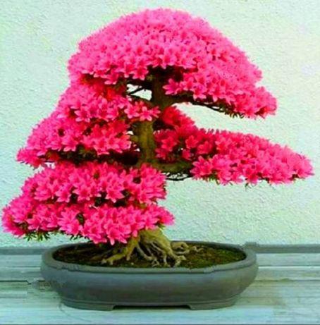 Семена комнатной сакуры бонсай