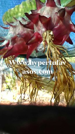 Pitayas com raiz ou sem