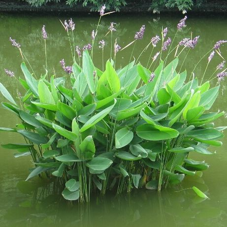 Planta para Lago - Thalia Dealbata