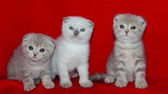 Нежные котята в нежном окрасе