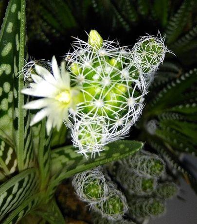кактусы кактус обмен