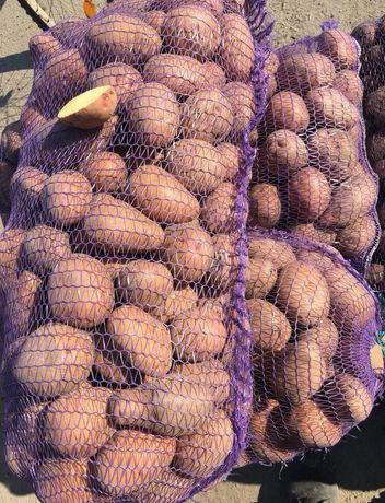 Продам картошку біла росса