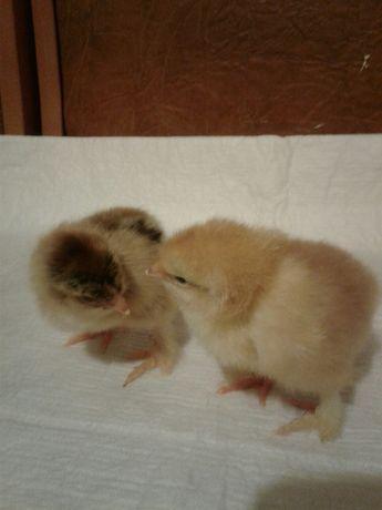 Продаю домашних цыплят