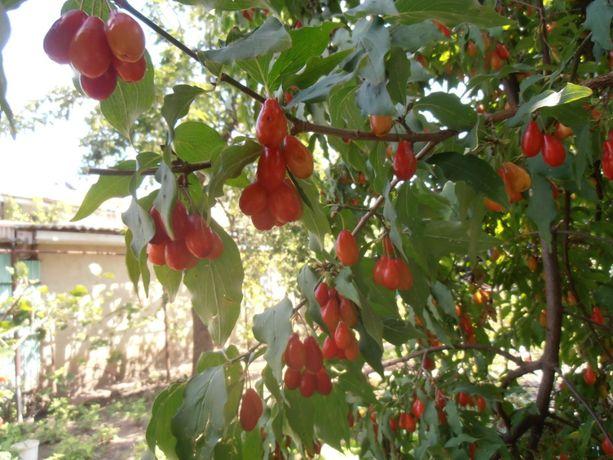 Саженцы плодоносящие кусты